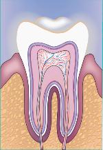 Zahn, Gefäßversorgung